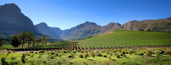 SA's grape harvest larger than 2016's despite drought, but innovation is key to survival
