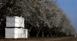 'Like sending bees to war': the deadly truth behind almond milk