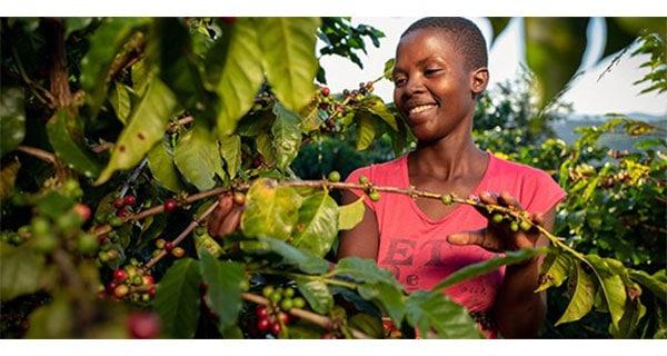 Nespresso revives Zimbabwe's coffee production