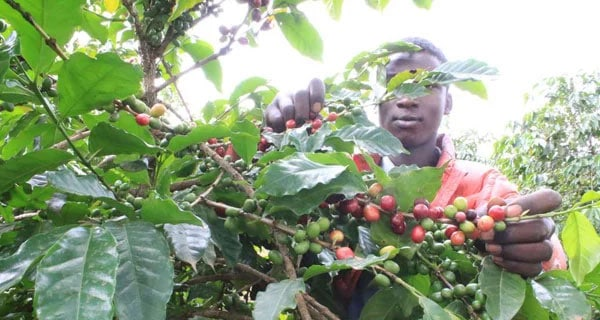 Coffee growers struggle to eke out a living as prices plunge